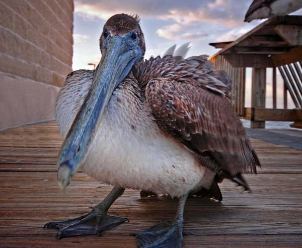 Digital Art - Pelican Close And Low by Michael Thomas