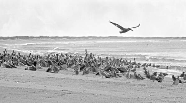 Beachscape Photograph - Pelican Convention  by Betsy Knapp