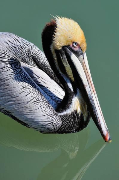 Photograph - Pelican by David Hart