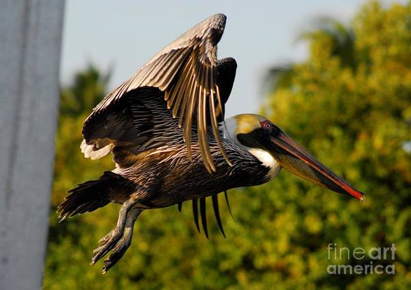 Brown Pelicans Wall Art - Photograph - Pelican Flight by Quinn Sedam