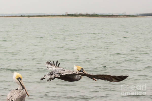 Wall Art - Photograph - Pelican Flight by Terry Cotton