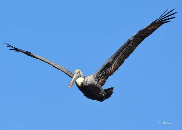 Photograph - Pelican Flying by Dan Williams