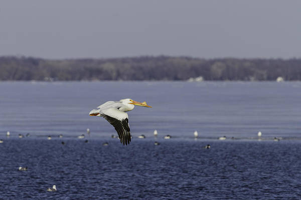 Photograph - Pelican Flying Into Open Water by Thomas Young