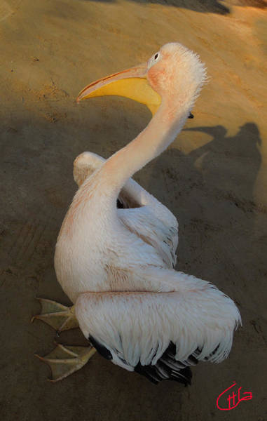 Photograph - Pelican Friend In Sinai Egypt by Colette V Hera  Guggenheim