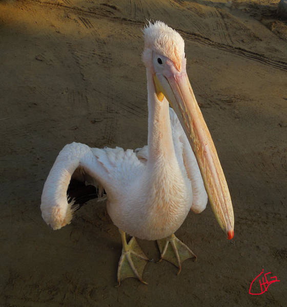 Photograph - Pelican Friend Two Sinai Egypt by Colette V Hera  Guggenheim