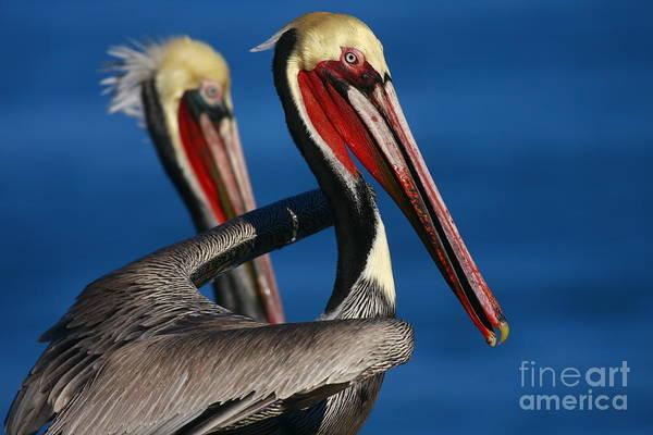 Photograph - La Jolla Pelicans In Waves by John F Tsumas