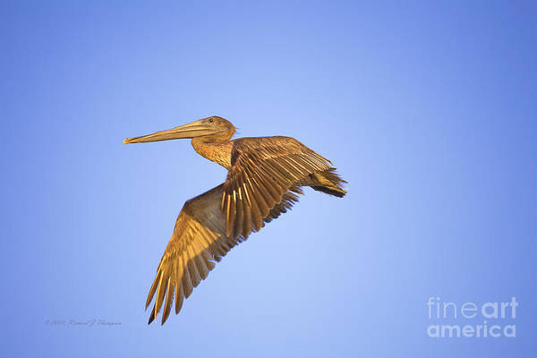 Photograph - Pelican In Flight by Richard J Thompson
