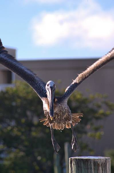 Photograph - Pelican In Flight by Willard Killough III