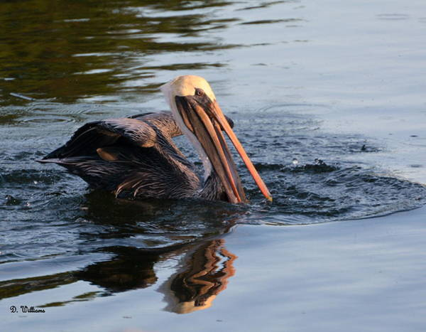 Photograph - Pelican In The Pond by Dan Williams