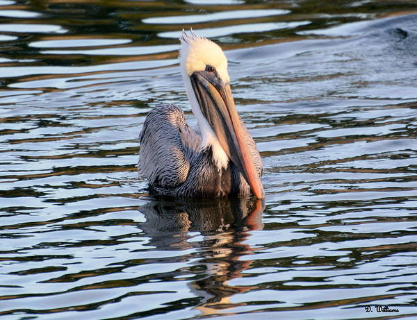 Photograph - Pelican In The Water by Dan Williams