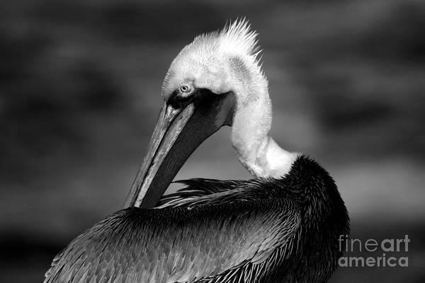 Pelican In Waves Art Print