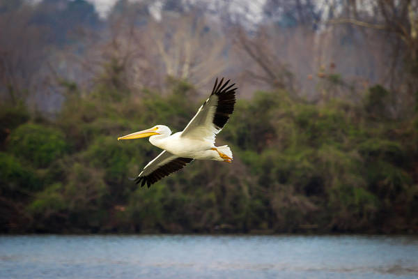 Photograph - Pelican by Larry McMahon
