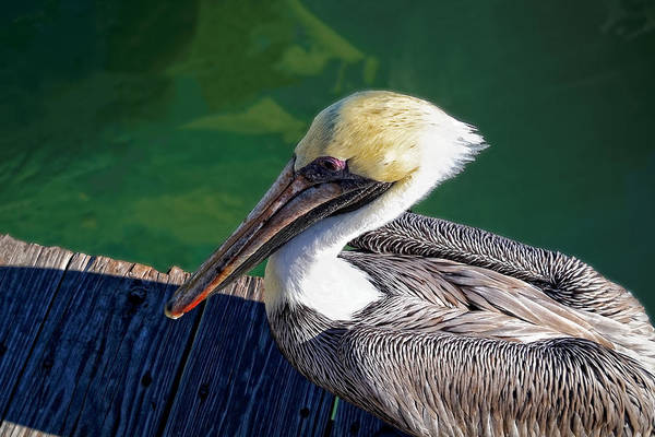 Photograph - Pelican by Lars Lentz