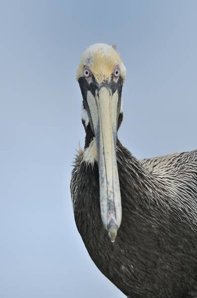 Photograph - Pelican Looking At You by Bradford Martin