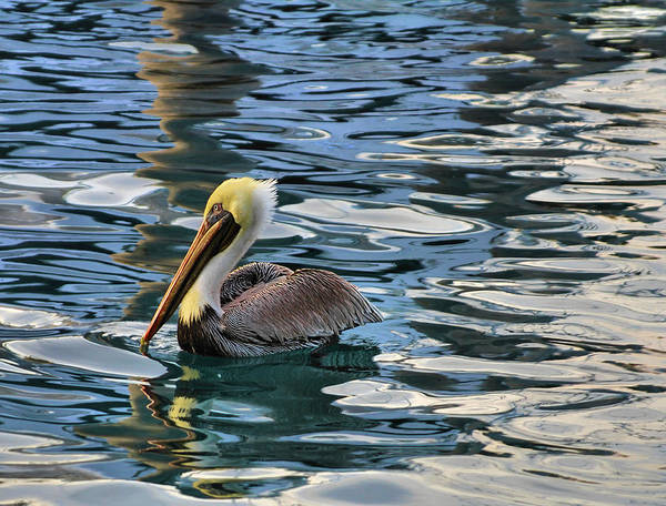 Singer Island Photograph - Pelican Monet by Debra and Dave Vanderlaan