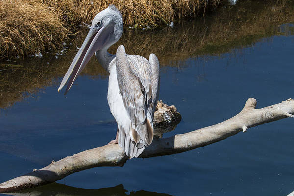 Pelican Wall Art - Photograph - Pelican On Branch by Garry Gay