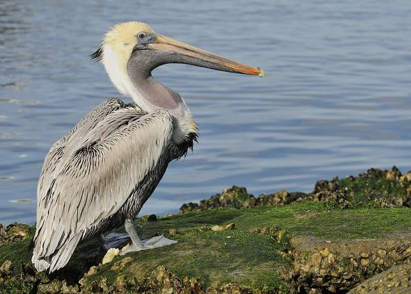 Photograph - Pelican On The Rocks by Bradford Martin