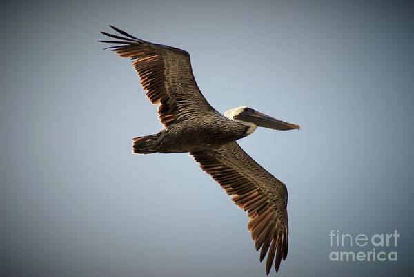 Flight Feathers Photograph - Pelican Pattern by Quinn Sedam