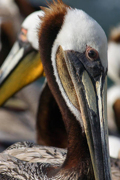 Photograph - Pelican Peculiarity by Leda Robertson