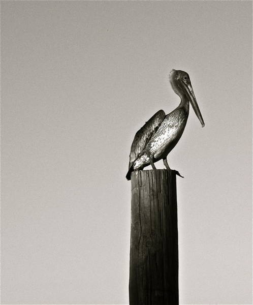 Photograph - Pelican Piling by Kim Pippinger