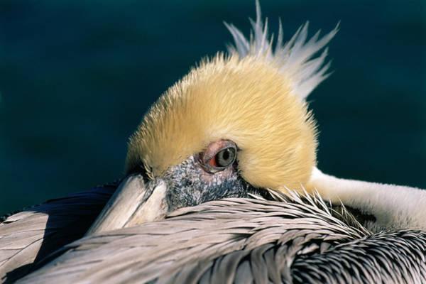 Photograph - Pelican Portrait by Bradford Martin