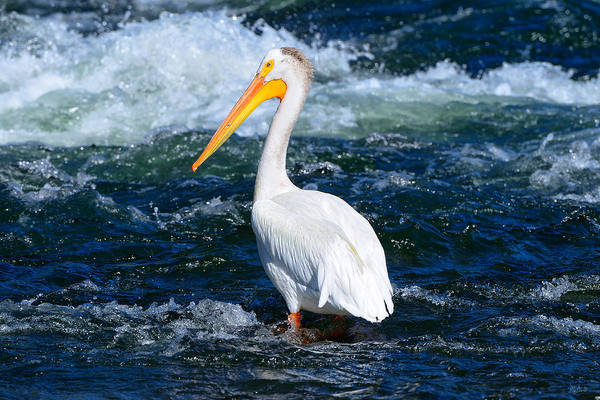 Photograph - Pelican Portrait by Greg Norrell