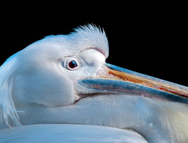 White Pelican Photograph - Pelican Portrait by Mark Rogan