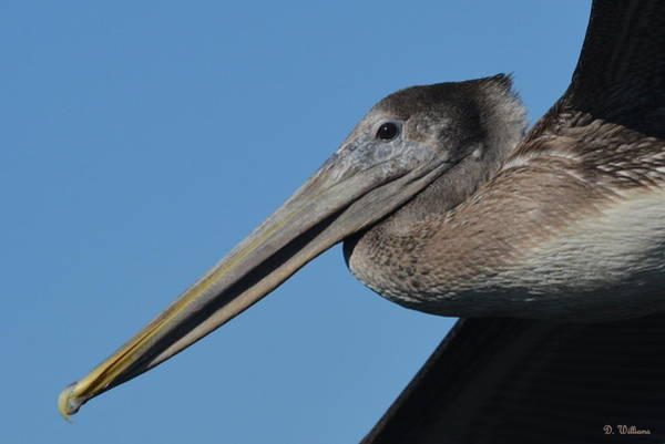 Photograph - Pelican Profile by Dan Williams