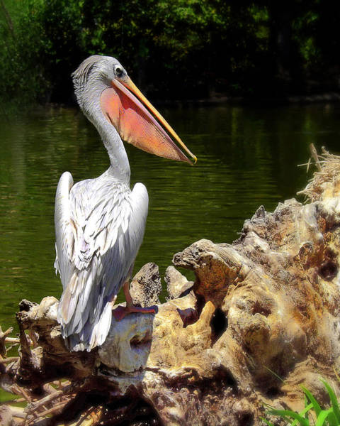 Photograph - Pelican Proud #2 by Wayne Wood