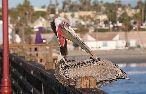 Pelican Sitting On Pier  Art Print