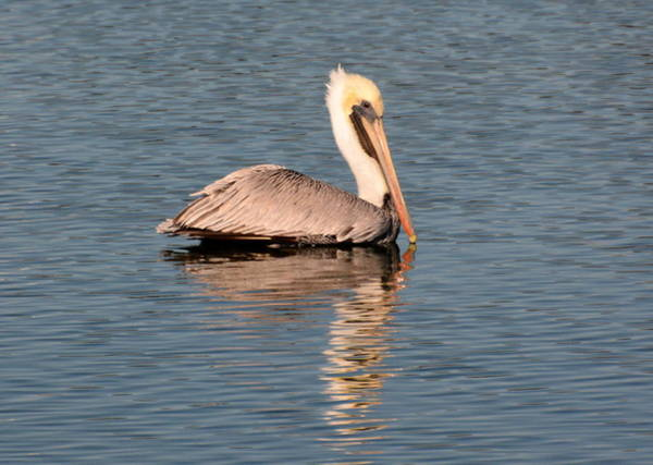 Photograph - Pelican Swimming In Calm Waters by Dan Williams