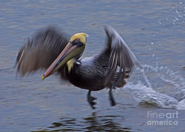 Coosa River Photograph - Pelican Takeoff  by J L Woody Wooden