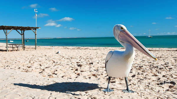 Photograph - Pelican Under Blue Sky by Yew Kwang