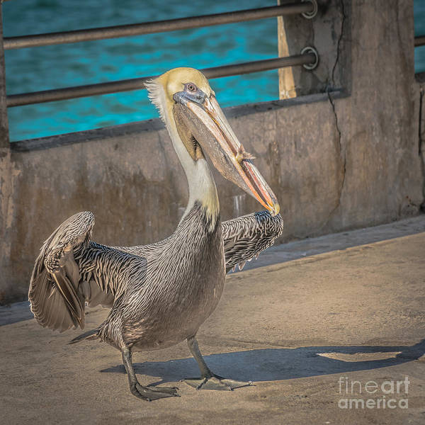 Brown Pelicans Wall Art - Photograph - Pelican With Fish White Street Pier Key West - Square - Hdr Style by Ian Monk