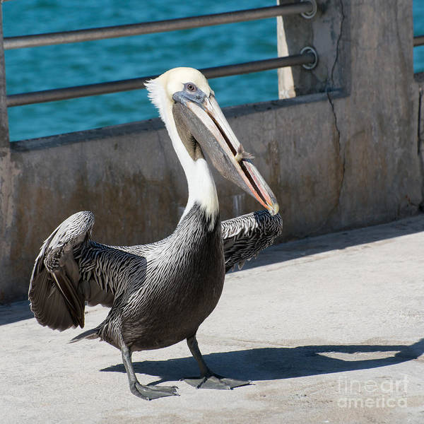 Pelican Wall Art - Photograph - Pelican With Fish White Street Pier Key West - Square by Ian Monk