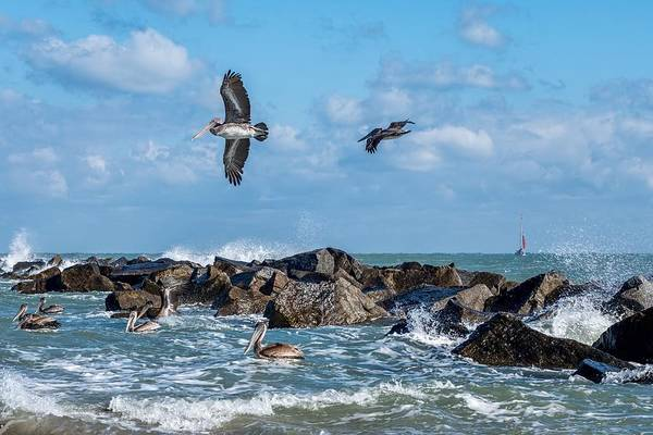 Photograph - Pelicans 891 by Rudy Umans