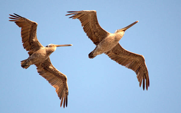 Photograph - Pelicans Above by AJ  Schibig