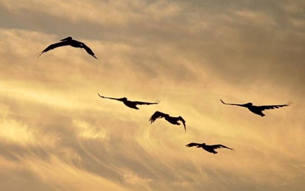Photograph - Pelicans Against A Golden Sky by AJ  Schibig