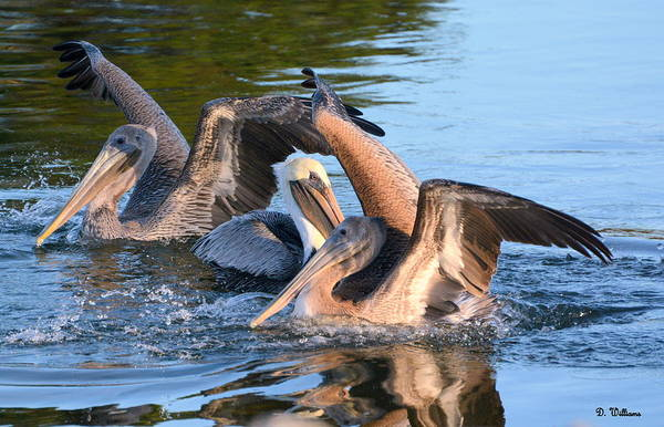Photograph - Pelicans At Play by Dan Williams