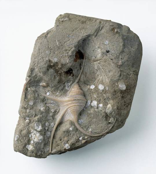 Cretaceous Wall Art - Photograph - Pelican's Foot Gastropod Fossil by Dorling Kindersley/uig