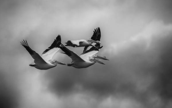 Photograph - Pelicans In Flight by Thomas Young