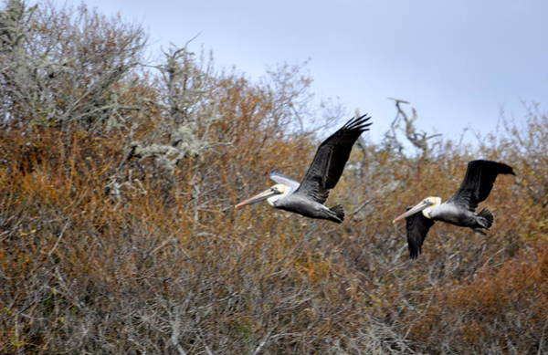 Photograph - Pelicans In The Brush by AJ  Schibig