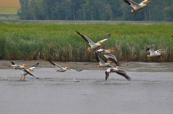Horicon Marsh Photograph - Pelicans On The Wing by Chris Tennis