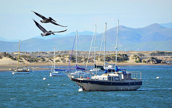 Photograph - Pelicans Over Morro Bay by AJ  Schibig