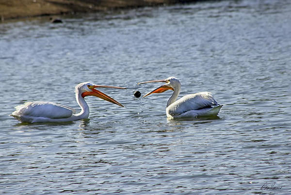 Photograph - Pelicans Playing Catch by Diana Haronis