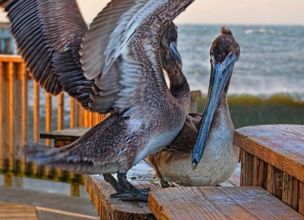 Digital Art - Pelicans Wings A Flappin by Michael Thomas