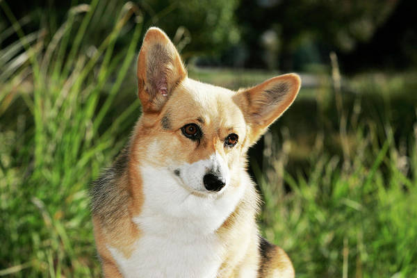 Canine Photograph - Pembroke Welsh Corgi In Garden by Piperanne Worcester