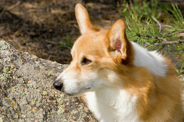 Canine Photograph - Pembroke Welsh Corgi by Piperanne Worcester