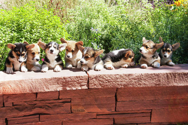 Canine Photograph - Pembroke Welsh Corgi Puppies Lined by Piperanne Worcester