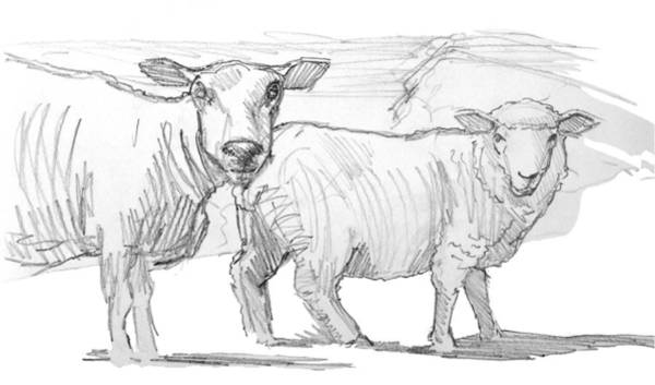Drawing - Pencil Drawing Of Two Sheep by Mike Jory